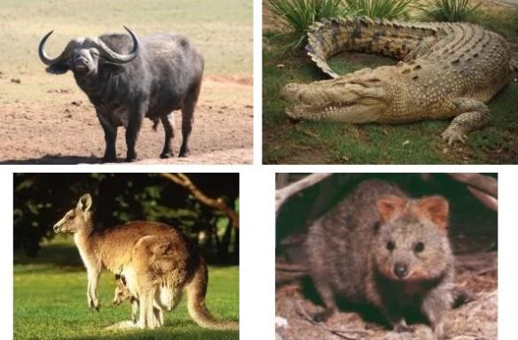 wombat Kenneth